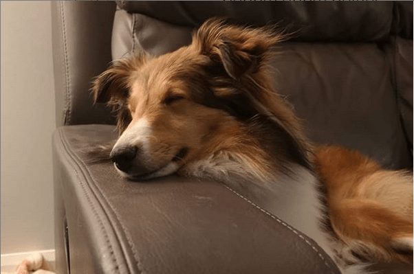 2019-09-04 09_32_11-Penny & Sunny Shelties (@penny.sunny.shelties) • Photos et vidéos Instagram